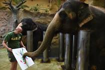 Slonice v ústecké zoologické zahradě malují obrazy. Cílem nezvyklé činnosti je zpestřit tvorům denní režim a prohloubit jejich vztah s chovatelem.
