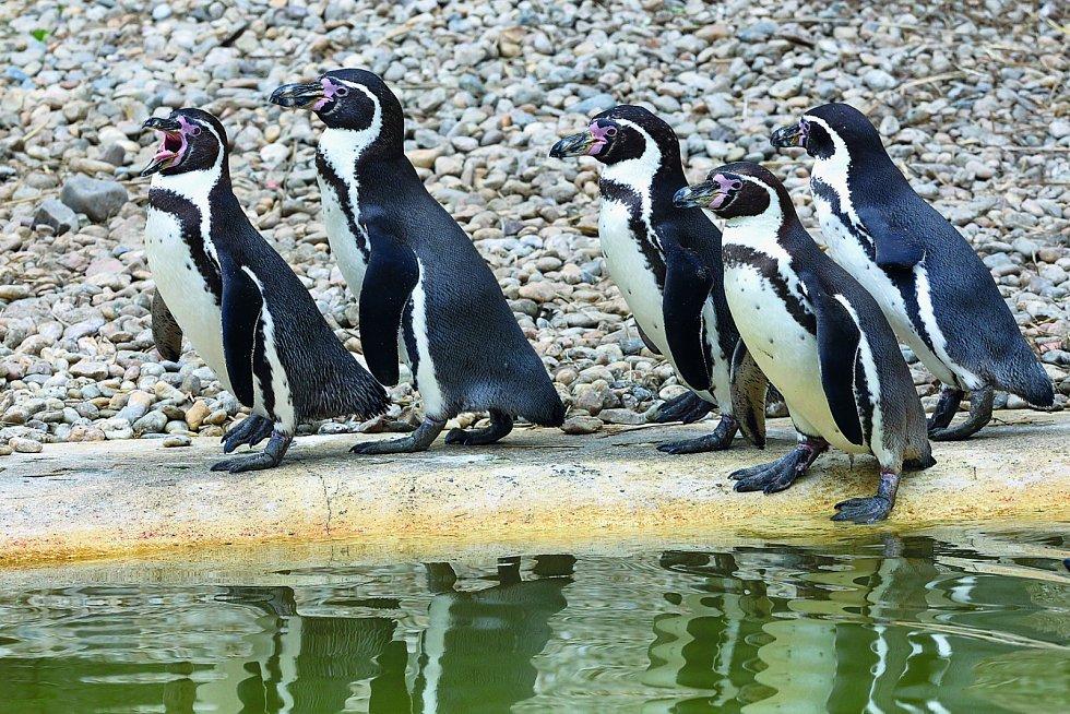 Plzeňská zoo je druhou nejstarší zoologickou zahradou v České republice. Nejpopulárnější atrakcí je výběh tučňáků Humboldtových, na jejichž krmení tradičně chodí davy lidí.