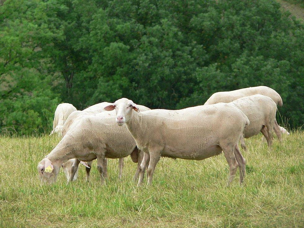 Francouzské plemeno ovcí lacaune, jejichž mléko se využívá pro výrobu Roquefortu