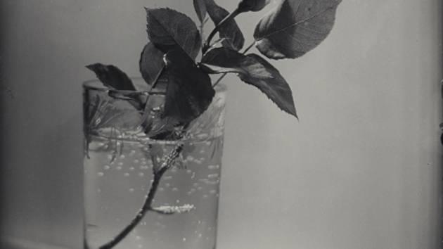 """Snímek českého fotografa Josefa Sudka """"Bílé růžové poupě"""" z roku 1954."""