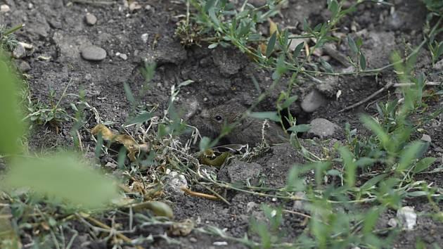 Hraboš polní na poli v Blatničce na Hodonínsku