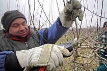 Sadaři v Horušicích u Čáslavi zastřihávají stromy. Nynější teplo stromy vysiluje a mohly by začít kvést.
