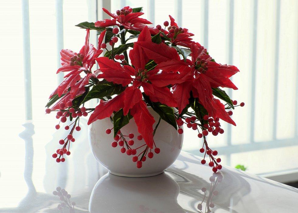Vánoční hvězda, poinsettie, nebo chcete-li pryšec nádherný, přitom pochází z Mexika.