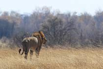 V zimbabwské přírodní rezervaci ve středu napadl lev skupinu turistů a zabil místního průvodce, který jim přispěchal na pomoc.