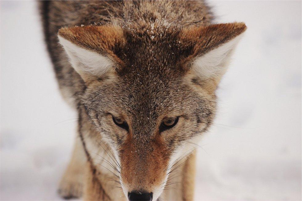 Kojot. Na lov často vyráží společně s jezevcem.