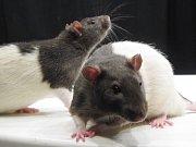 Laboratorní krysy. Ilustrační foto