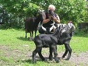 Chovatelce z Frýdku Místku porodila její koza kamerunská tři slaďounká kůzlátka. No řekněte, nejsou k sežrání?