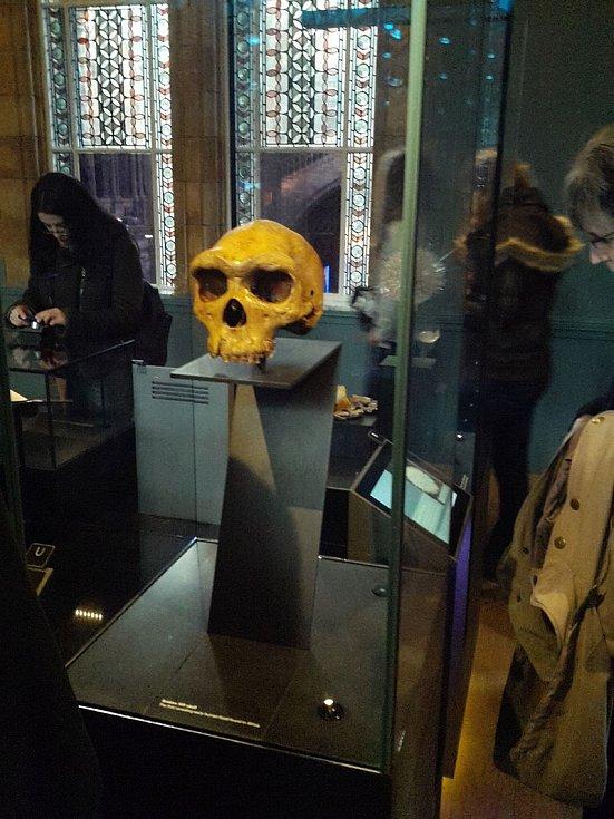 Lebka je součástí expozice Muzea přírodních dějin v Londýně