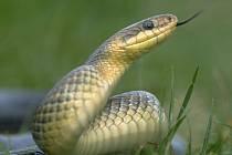 Vzácnou užovku stromovou našli ochránci přírody v Beskydech u Horní Bečvy na Vsetínsku, had byl ale mrtvý. Ilustrační foto.