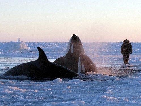 Ledem uvězněné kosatky u kanadského pobřeží