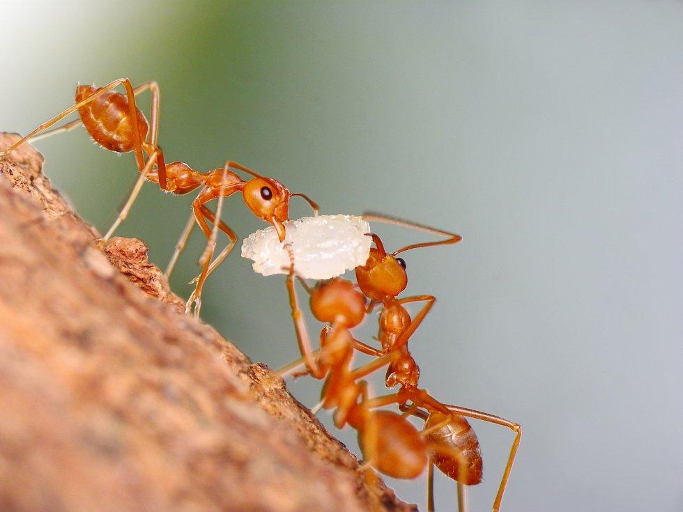 Mravenci si spolu staví obydlí i shánějí potravu.