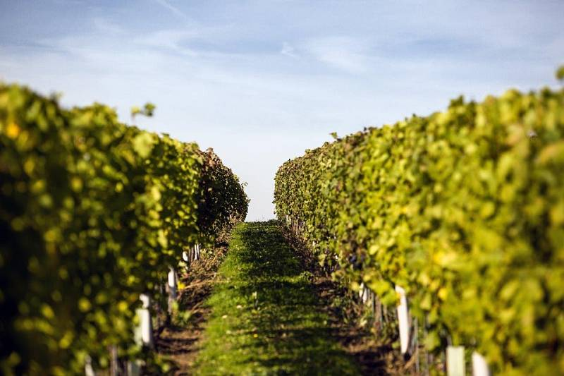 Vinobraní na viniční trati Hejdy, Nenkovice – Vinařství Neoklas Šardice