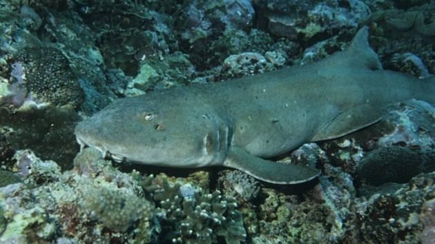 Žralůček skvrnitý.