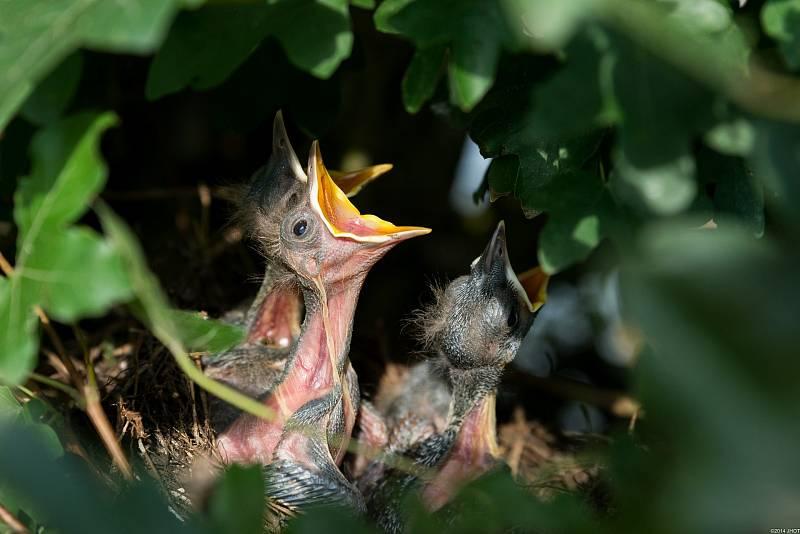 Někteří ptáci umějí zpívat hned po narození, učí se totiž už ve vajíčku.