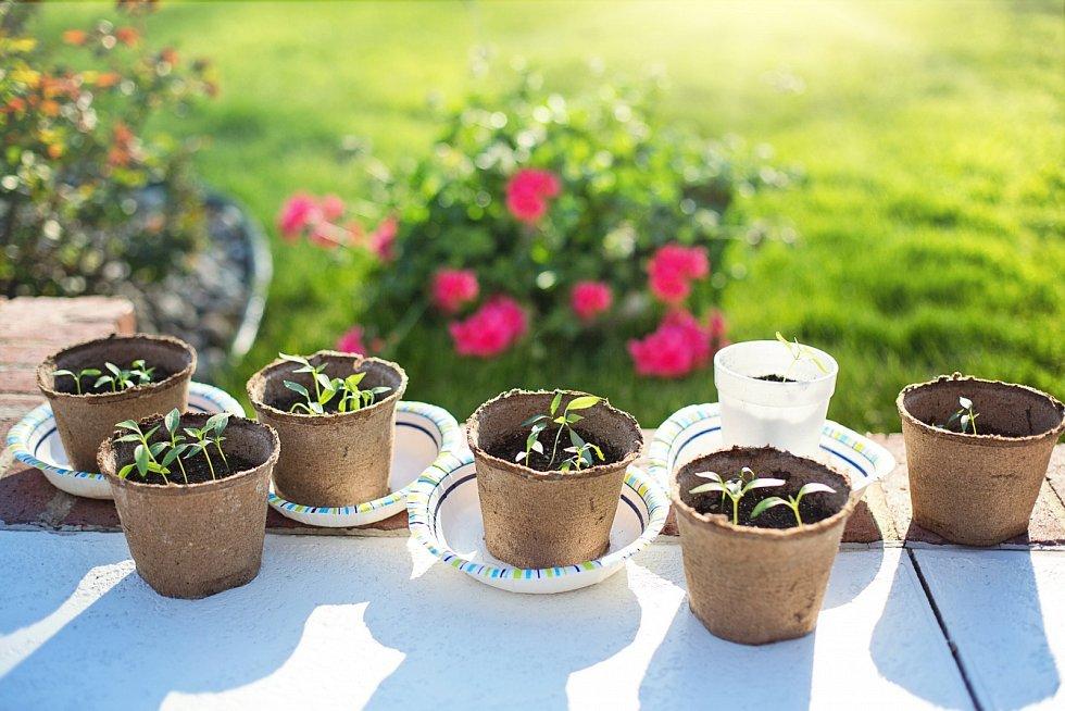 V počátečních fázích vývoje mají sazenice malé nároky na dusík, který naopak potřebují v období růstu.