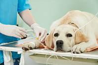 Krevní transfuze je nejčastěji potřeba z důvodu těžkých zranění spojených se ztrátou krve, při rekonvalescenci po těžkých operacích, u koček třeba při infekční anémii, uvádí veterináři z kliniky Mnichovice.