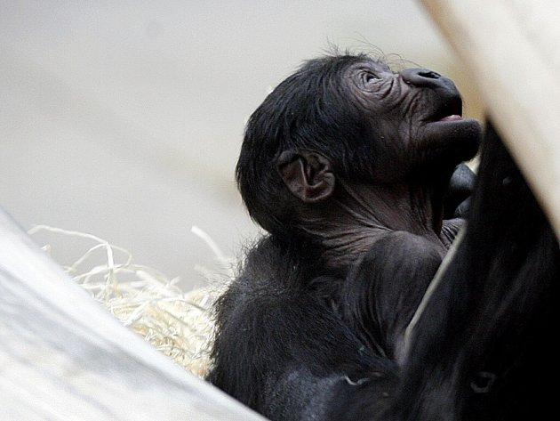 Několik hodin staré mládě, které narodilo v noci na 30. května v pražské zoo.