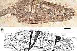 Zkamenělina představovala vzácně zachovalou kompletní kostru