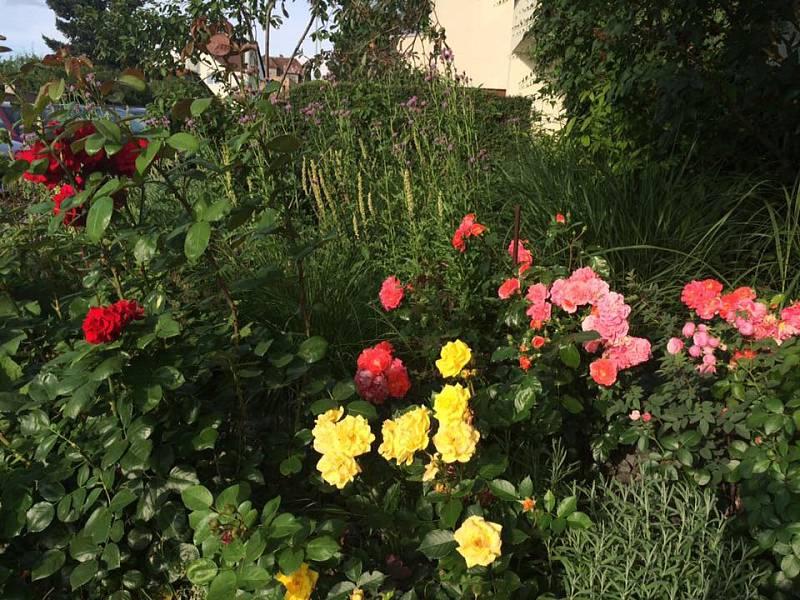 Keřové růžu a trvalky. Ideální rostliny na městskou zahrádku