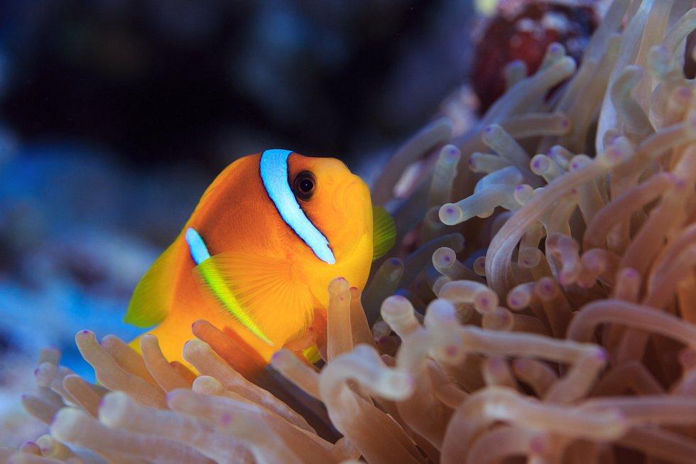 """Rybka """"klaun"""" zahradničí v porostech žahavých sasanek na dně korálových moří."""