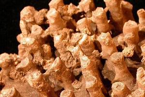 Korál Tabulata vytvářející kolonie se vyznačuje vápenatou kostrou