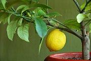 Subtropické citrusy potřebují dostatek světla a nižší teplotu.