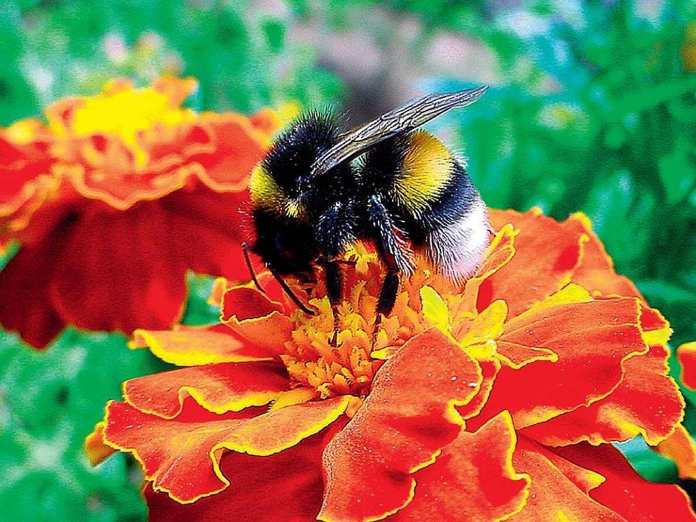 NÁDHERA. Potěchu pro oko a potravu pro včely představuje afrikán, rostlina s mnoha přednostmi.