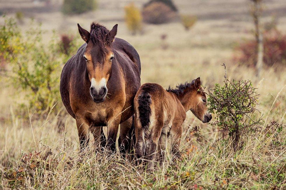 V české přírodě se zase zabydlují divocí koně.