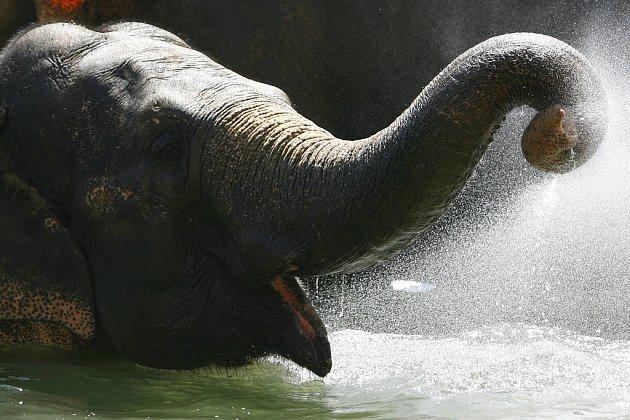 Trpasličí slon byl nejprve v 18. století převezen z Jávy na ostrov Sulu jako dar místnímu sultánovi od jávského vládce. Nyní jich jsou na ostrově asi dva tisíce (ilustrační snímek).
