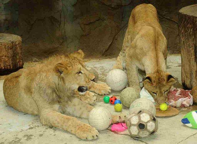 První narozeniny oslavila v pondělí lvíčata lvů berberských v olomouckého zoo na Svatém Kopečku.