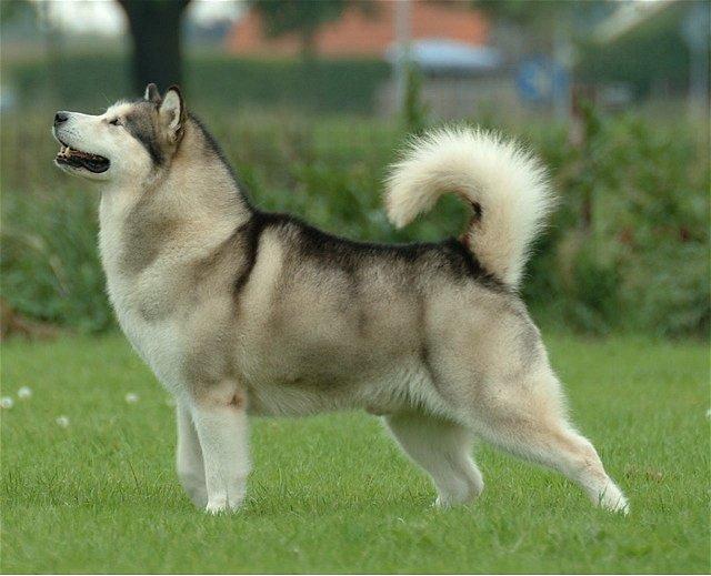Aljašský malamut je americké psí plemeno, původně chované severskými domorodými kmeny: Inuity. Představuje nejstarší psí plemeno Severní Ameriky