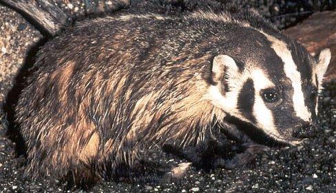 Jezevci jsou za úplňku naopak méně aktivní, jejich páření je dlouhé a za měsíčního svitu by mohlo být pro ně nebezpečné