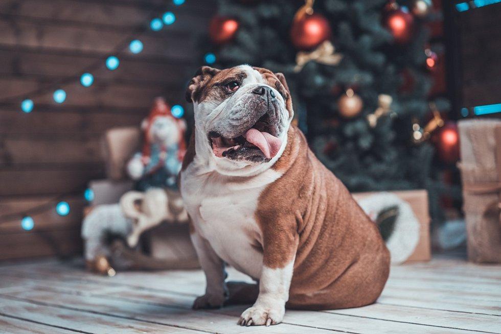 Nadváha a obezita mohou potrápit i psy