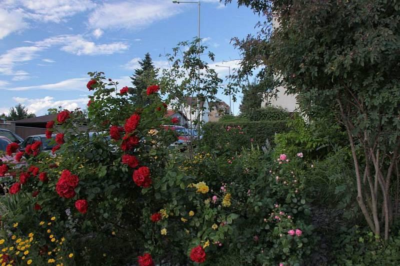 Keřovým růžím se daří i na obyčejné městské zahrádce u panláku