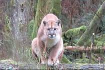 Puma na ostrově Vancouver v Kanadě