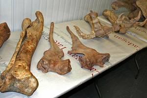 Kosti pravěkého ještěra. Ilustrační snímek