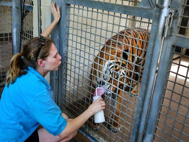 řináctiletého tygra se podařilo uspat a ošetřovatelka byla přepravena do nemocnice. Tam ale svým zraněním podlehla.