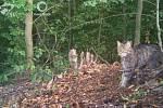 Kočka divoká, centrální Javorníky