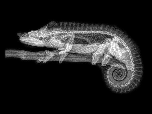 Rentgenový snímek chameleona.