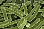 Bakterie Escherichia coli - Ilustrační foto