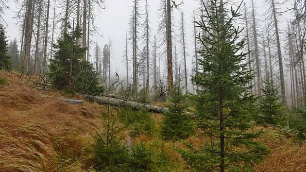 Šumavský les u jezera Laka