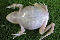 Průsvitná žába