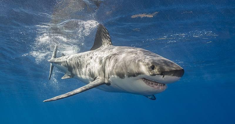 Velký bílý žralok. Ilustrační snímek