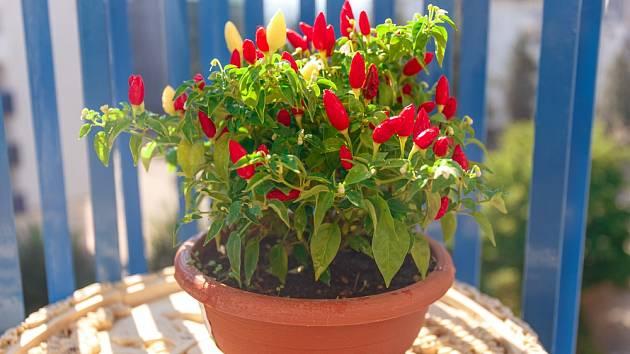Pokud je na lodžii nebo balkoně dostatek slunečního svitu, budou skvělým tipem pro pěstování vmenších nádobách malé chilli odrůdy papriček.