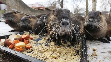 Rodinka jedenácti nutrií se nastěhovala na rybníček rodiny Válkových v Chodovlicích.