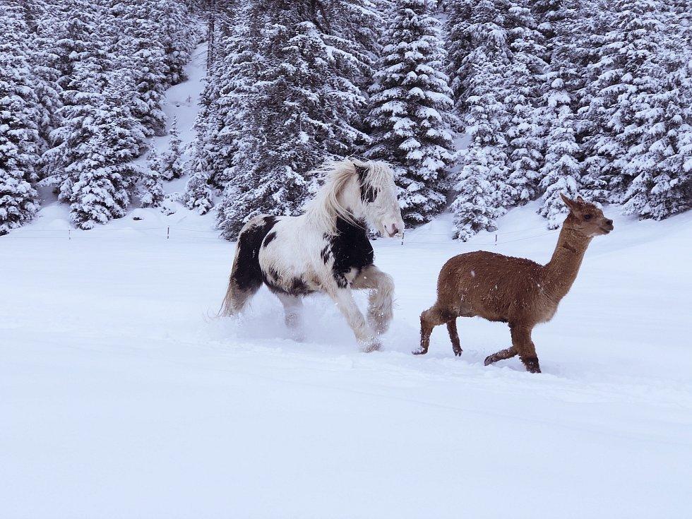 Rodina z Jelení chová také koně a lamy