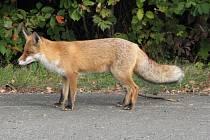 Liška obecná.