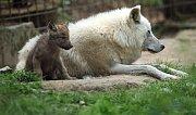 Vlk Hudsonův v olomoucké zoo.