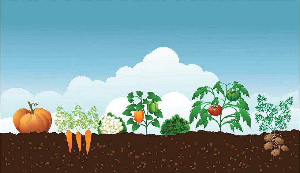 Pěstování zeleniny. Ilustrační foto