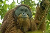 Orangutan tapanulijský